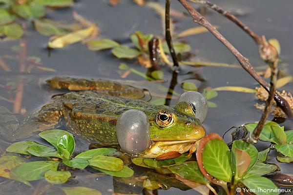 grenouille verte-Yves Thonnérieux
