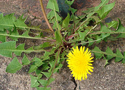 taraxacum en fleur